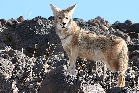 Kojote