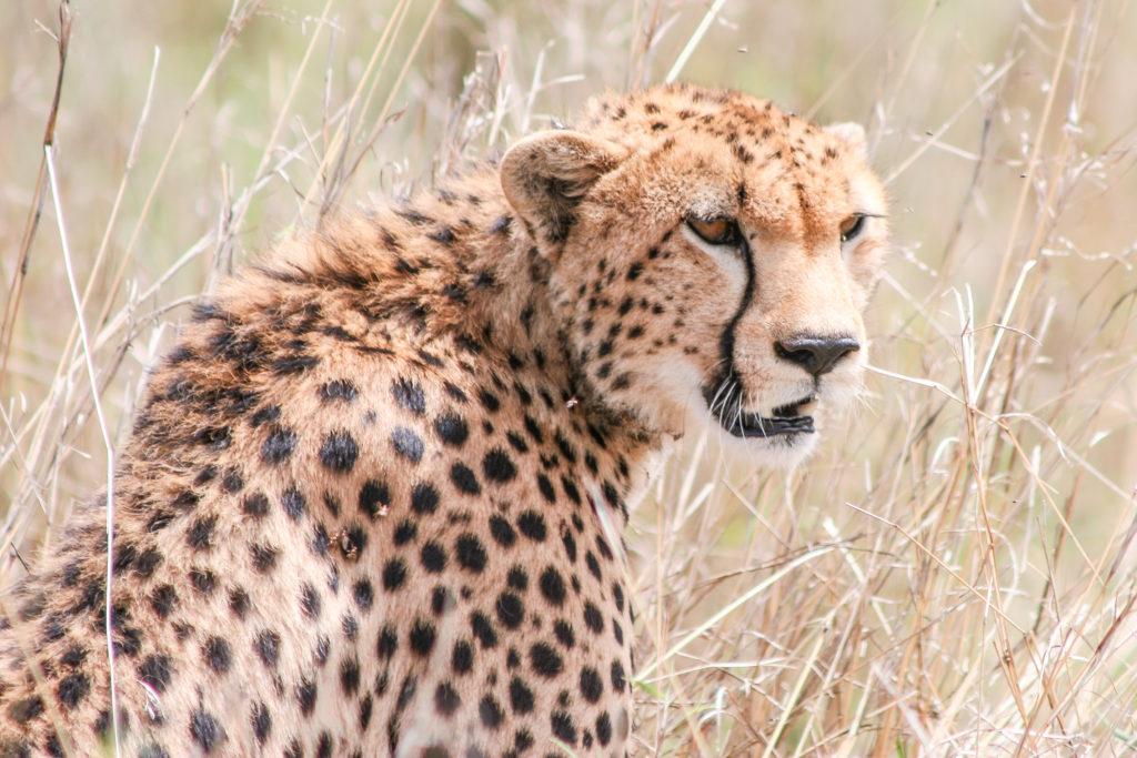 Gepard in Masai Mara - Aufgenommen vom Autor 2006